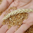 Royalty-Free Stock Photo: Wheat concept
