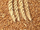Wheat concept — Stock Photo