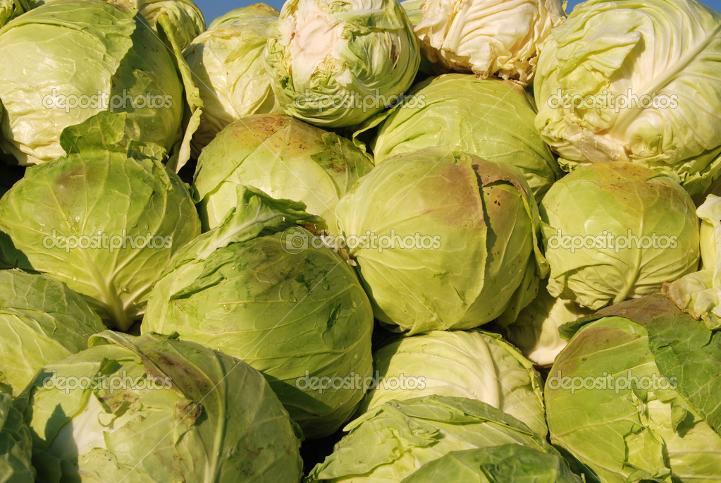 Heap of ripe cabbage in the farm or market — Stock Photo #9230618