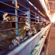 Royalty-Free Stock Photo: Chicken Farm