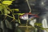 Akvaryum balık — Stok fotoğraf