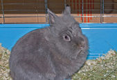 Gray decorative rabbit — Stock Photo