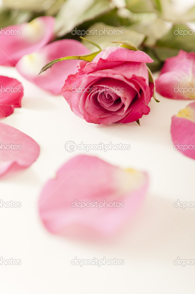 Close up of a pink rose and petals — Stock Photo #8843136