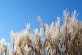 Fluffy panicles of grass on a background of bright blue sky — Stock Photo