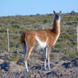 Guanaco — Stock Photo #8846581