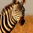 Stock Photo: Headlong view of zebra