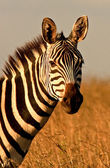 Headlong view of zebra — Stock Photo