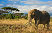 Lone elephant in front of Mt. Kilimanjaro — Stock Photo