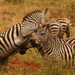 Stock Photo: Fighting zebra stallions