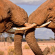 Fighting elephant brothers - Foto de Stock