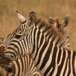 Zebra in herd — Stock Photo