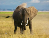 Dusty elephant — Stock Photo