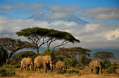 Elephant family in front of Mt. Kilimanjaro, kenya — Stock Photo