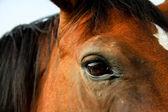 Close-up cavallo marrone — Foto Stock