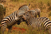 Fighting zebra stallions — Stock Photo