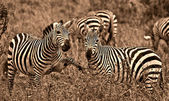 Sepia zebras — Stock Photo