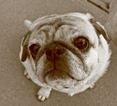 Uplooking pug in sepia — Stock Photo