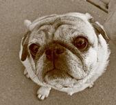 Uplooking pug en sepia — Foto de Stock