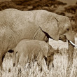 Mother and calf elephants — Stock Photo