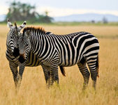 Zebra buddies — Stock Photo