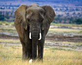 Lone elephant in savanna with egret — Stock Photo