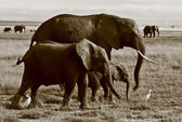 Elephant family walking with egrets — Stock Photo
