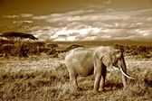 Lone elephant in front of Mt. Kilimanjaro in sepia — Stock Photo