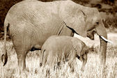 Mother and calf elephant walking in grass, sepia — Stock Photo