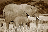 Mãe e filhote elefantes — Foto Stock