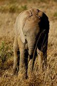Baby elephant in grassland — Stock Photo