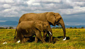 Mother African elephant and calf walking with cattle egrets — Stock Photo