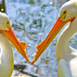 Royalty-Free Stock Photo: Two American White Pelicans