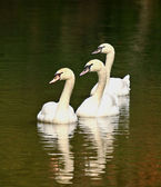 Trio of mute swans — Stock Photo