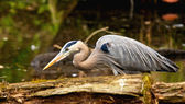 Great Blue Heron hunting — Stock Photo