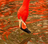 Greater flamingo head above water — Fotografia Stock