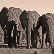 Stock Photo: Three africelephants in descending size
