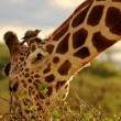 Stock Photo: Giraffe eating with oxpecker on head