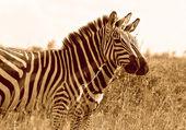Side by side zebras — Stock Photo