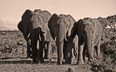 Three african elephants in descending size — Stock Photo
