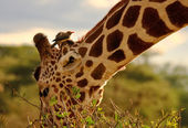 Giraffe eating with oxpecker on head — Stock Photo
