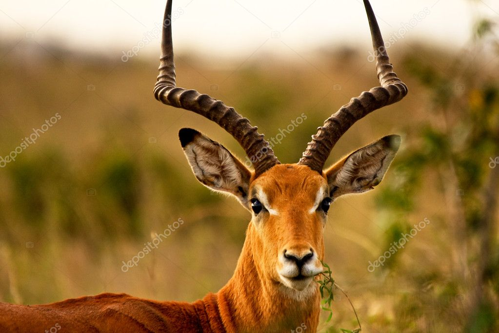 A male impala looking at viewer chewing leaves  Stock Photo #9424223
