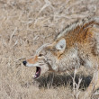 Snarling Coyote - Stock Photo