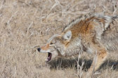Snarling Coyote — Stock Photo