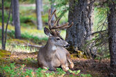 White Tail Deer Resting — Stock Photo