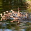 Fleeing Family of Ducks — Stock Photo