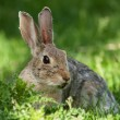 Wild Rabbit — Foto Stock