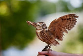Burrowing Owl — 图库照片