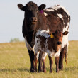 Cow and Calf — Stock Photo #9236038