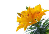 Yellow Lilies — Stock Photo