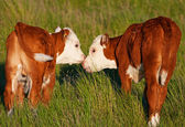 Kissing Calves — Stock Photo